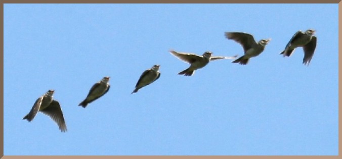 20110710_df1_20110607_1022_060-065 skylark singing in flight (selected) 09-14 of 16 (sequential impression montage @ 7fps)(r+mb id@768)