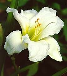daylilies_hemerocallis_x_gentle_shepherd-1-medium-detail